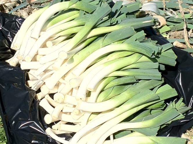Los puerros están disponibles en nuestro huerto casi todo el año y son una base para la cocina de Kiloterdi